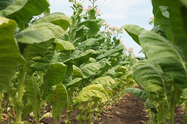 pěstování tabáku