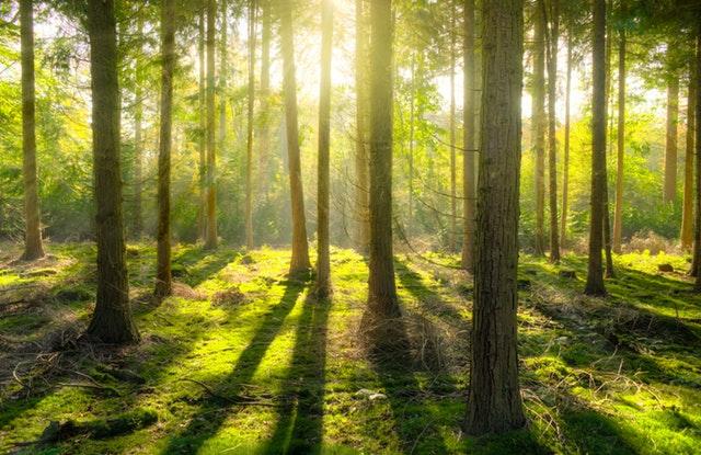 jehličnatý les, hra se světlem